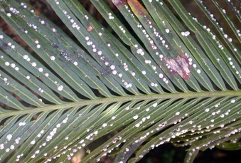 Cycad Scale