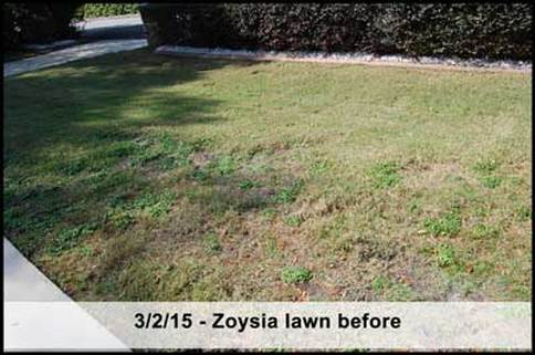 damaged zoysia