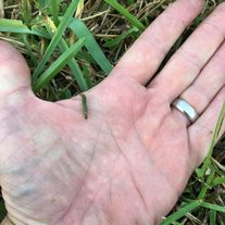 Caterpillar, worm, worms eating my grass
