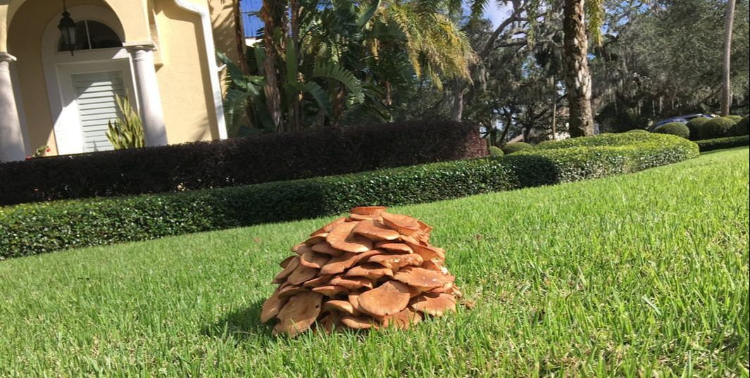 St Augustine grass, lawn fungus, fungus, mushrooms in lawn