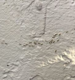 Ghost ants, ants